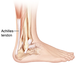 Side view of bones of lower leg and foot showing ligaments and Achilles tendon.
